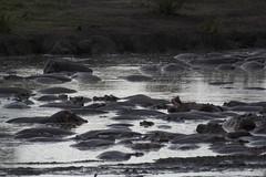 _MG_0597 (esevelez) Tags: tanzania africa serengueti serengeti animales animal animals parque nacional national park nature naturaleza hipopotamo hippopotamus charca pool pond
