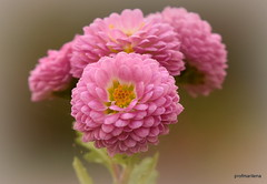 1-DSC_6710-001 the tiniest chrysanthemums in my garden (profmarilena) Tags: chrysanthemums tiny pink macro closeup