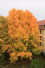 Yellow / Gelb (Pascal Volk) Tags: berlin althohenschnhausen berlinlichtenberg sandinostrase groseleegestrase gelb yellow herbst autumn fall herbstfarben laub autumnleafcolor wideangle weitwinkel superwideangle superweitwinkel ultrawideangle ultraweitwinkel ww wa sww swa uww uwa 31mm canoneos6d canonef1635mmf4lisusm