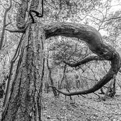 121 (Andrew J Horrocks) Tags: formby pinewoods freshfield liverpool trees