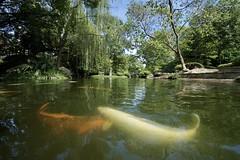 Fort Worth Japanese garden (gsmper) Tags: japanesegarden koi pond fish water garden reflection trees sunlight colors bridge