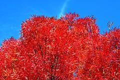Maple Tree foliage ,Crimson Queen (misi212) Tags: maple