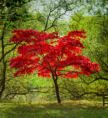 Blood Red! (Paul Watson 80) Tags: autumn acer colours tree goldenacre leeds park fire westyorkshire