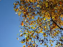 Liriodendron autumn colors (Jörg Paul Kaspari) Tags: trier palastgarten liriodendron tulipifera liriodendrontulipifera tulpenbaum herbstfärbung autumncolor herbst autumn fall