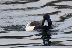 Tufted duck (James Oliver Lewis) Tags: cosmeston penarth glamorgan tufted duck
