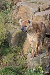 2016-11-24-0284 (BZD1) Tags: spottendhyena hyena gevlektehyena animal mammal chordata mammalia carnivora carnivore hyaenidae hyaeninae crocuta crocutacrocuta natura nature natuur diergaardeblijdorp