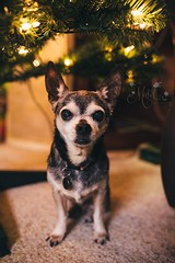 Little Pepper Under the Tree (Mabel Photography) Tags: chihuahua pet dog loyal under tree christmas lights festive indoors carpet canon6d 6d sigma sigma35mm 35mm boy male senior