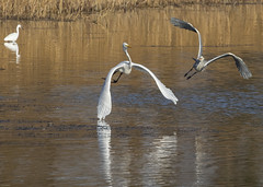 Photo of Great White Egret under attack