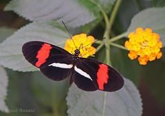 Beauty ( Annieta ) Tags: annieta november 2016 sony a6000 nederland netherlands orchideenhoeve luttelgeest vlinder butterfly papillon mariposa allrightsreserved usingthispicturewithoutpermissionisillegal