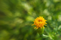 Change, Renew and Rejuvenate (Robert-Ang) Tags: flower marigold greenbackground bokeh nature plant growth renewal