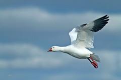 Oie des neiges / Snow Goose (alain.maire) Tags: bird anatidae chencaerulescens oiedesneiges snowgoose nature quebec canada
