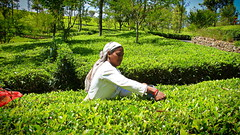 Tea picker in a tea plantation in the Sri Lanka  tea country (Chandana Witharanage) Tags: srilanka southasia tea teaplantation ella teapicker upcountry awesome breathtaking closeup destination fantastic holiday nature natural light explore tour travel
