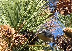 Red-breasted Nuthatch (Kelly Preheim) Tags: redbreasted nuthatch