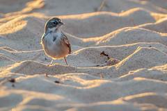 Sagebrush Sparrow-8778G (Paul*Nelson) Tags: michigan michigansupperpeninsula sagebrushsparrow sparrow up upperpeninsula whitefishpoint bird rarebird