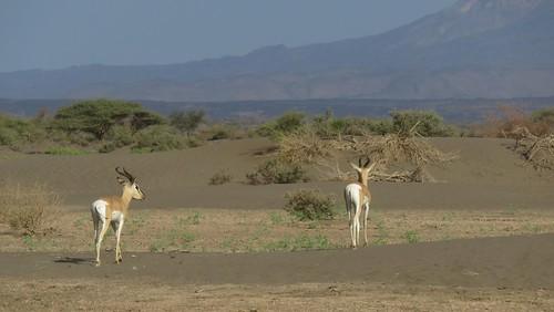 Djibouti_2015 - Antilopes dans la plaine d'Andaba