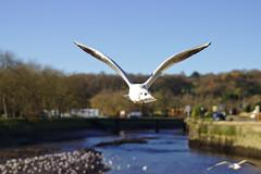 Seagull (missbutterflies) Tags: mouette oiseau bird seagull lannion bretagne