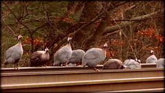 (timetomakethepasta) Tags: guineafowl birds animal nature outdoors photography new york rails tracks train death