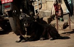 dogs in kathmandu (wojofoto) Tags: kathmandu dog dogs hund hond nepal wojofoto wolfgangjosten