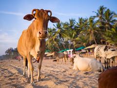 Agonda Beach (TeunJanssen) Tags: beach agonda goa india backpacking travel olympus ocean traveling omdem10 omd palm palmtrees cows cow chilling 17mm