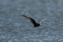 _H2A2267.jpg (AMPMartins) Tags: aves avesportugal gaivinadasabranca