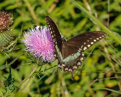 Papilio troilus (spicebush swallowtail) on Cirsium discolor (field thistle) (tgpotterfield) Tags: longwood cirsiumdiscolor cirsium carduoideae asteraceae fieldthistle pterourustroilus papiliotroilus papilio papilionidae lepidoptera insects spicebushswallowtail kennettsquare pennsylvania usa