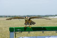 (tincho.uy) Tags: aerofotofest bird pajaro ave uruguay fauna