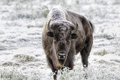 Checking Me Out (Scott Sanford) Tags: texas nature outdoor naturallight frozen frost winter cold animals americanbison buffalo canon eos 80d ef100400mmf4556lisiiusm topazlabs sunlight sunrise hillcountry morning