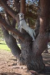 Tree Climbing White Goberian Dog - Nikon D750 - AFS Nikkor 28-300mm 1:3.5-5.6G VR (divewizard) Tags: nikond750 nikon d750 dslr fx afsnikkor28300mm13556g afs nikkor 28300mm 13556g vr f3556 zoomlens zoom lens 28300mmf3556gvr elsegundodogpark dogpark elsegundo losangelescounty california 90245 chrisgrossman white whitedog male blue dog goberian goldenretriever siberianhusky heterochromiairidis heterochromiairidum sectoralheterochromia blueeye browneye bluebrowneye bicoloredeyes upatree climbing smiling happy inatree bicoloredeye perro co chien hund    hond    treeclimbing treeclimbingdog