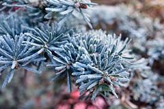 Vorst (Gerard Stolk (durant lAvent)) Tags: delft vorst winter spar bonsai