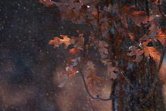Even in the light... (miss.interpretations) Tags: snow endofautumn leaves fall snowflakes winter cold chilly winterpresence trees foliage dry crisp focus canonm3 castlewoodcanyonstatepark colorado co missinterpretations rachelbrokaw nature outdoors outside branches seasons light sun warmth