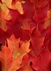 57892.01 Acer (horticultural art) Tags: horticulturalart acer maple fallleaves fallcolor leaves