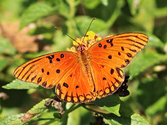 Gulf Fritillary 2-20161204 (Kenneth Cole Schneider) Tags: florida miramar westbrowardwca