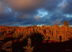 Shooting Among the Barrens Black Spruce (photo fiddler) Tags: barrens coastal eastcoast canada overcast december 2016 spruce shadow goldenhour