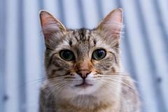 Rey Julien (lorenagzza) Tags: cat animals gato urban urbancat rey de las calles strret