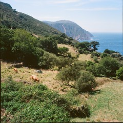 Cliff life (davidgarciadorado) Tags: landscape seascape galicia spain trees cows cliff ektar kodak rolleiflex