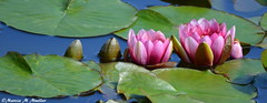 9 of 10 SJG Homage to Monet MMM (MarciaMuellerPhotography) Tags: pink waterlilies seattlejapanesegardens marciammueller