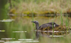 Red-throated loon (Gavia stellata) (Jo Stenersen) Tags: reflection bird water norway mirror nest brooding akershus waterlillies loon lom stenersen redthroatedloon gaviastellata redthroateddiver smlom jostenersen