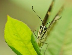 Distance (Anna Kwa) Tags: macro art nature butterfly singapore papiliodemoleus butterflylodge citrusswallowtail chequeredswallowtail lemonbutterfly limeswallowtail dingyswallowtail commonlimebutterfly smallcitrusbutterfly mariposadelmuerte