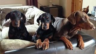 three Dobermans - Eenie Meenie Miney Moe
