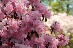Azalea (Moments to Capture (Ibrahim)) Tags: park flowers oklahoma nature woodward azalea tulsa