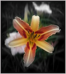 just one day (MissyPenny) Tags: flower garden lily daylily bristolpennsylvania pdlaich