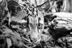 Snow Leopard (anzere03) Tags: