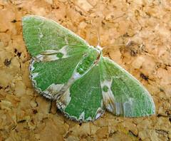 Blotched Emerald. Comibaena bajularia (gailhampshire) Tags: blotched emerald comibaena bajularia taxonomy:binomial=comibaenabajularia explored