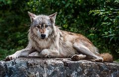 Grey Wolf (Eve'sNature) Tags: nature animals wolf wildlife canine canislupus mygearandme mygearandmepremium photographyforrecreation