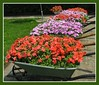 Impatiens (ellenc995) Tags: pink flowers friends red summer plant beautiful yard garden wheelbarrow impatiens ruby3 coth supershot bej fantasticnature akob abigfave anawesomeshot citrit concordians rubyphotographer 100commentgroup challengeclub coth5 hennysgardens naturallywonderful top25redorangeandyellow ruby10 thesunshinegroup sunrays5