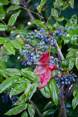 DSC_15144 (Joop Reuvecamp) Tags: blue plant netherlands amsterdam fruit oregon zoo flora blauw nederland nl grape artis mahonia dierentuin bes berrie mahonie vrucht aquifolium mahoniestruik zoomeravond