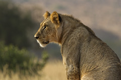 ON WATCH (mark_rutley) Tags: africa kenya lion safari lions cubs lioness tsavo lioncubs malelion tsavowest