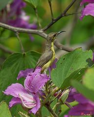 Olive-backed Sunbird Female (Cinnyris jugularis) (DTHN0046) นกกินปลีอกเหลือง หญิง (Gerry Gantt Photography) Tags: bird nature thailand bangkok sunbird กรุงเทพฯ olivebackedsunbird cinnyrisjugularis ประเทศไทย yellowbelliedsunbird นกกินปลีอกเหลือง totallythailand thailandประเทศไทย bangkokกรุงเทพ chatuchakเขตจตุจักร chatuchakเขตจตุจ