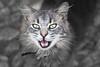 Al acecho (pericoterrades) Tags: huelva sierra gato felino fuenteheridos