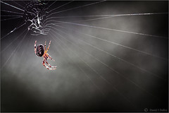 Hanging by a Thread (Robots are Stupid) Tags: wood uk greatbritain england mist macro nature misty fog forest woodland insect sussex spider upsidedown westsussex unitedkingdom britain wildlife web arachnid spin spiderweb foggy silk 100mm cobweb naturereserve spinning woven spidersweb weave arachnophobia southdowns britishwildlife cobwebs cocoon midhurst spun stedham spidersilk mistymorning sussexwildlifetrust tokina100mm d700 tokina100mmf28atxprod nikond700 stedhamcommon sussexcountryside southdownsnationalpark elstedroad daviddalley davidjdalley stedhamwithiping